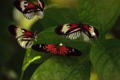 La danza de acoplamiento de varios piano cierra el melpomene de Heliconius de la mariposa imagen de archivo libre de regalías