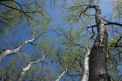 La danza de los árboles de la primavera Foto de archivo libre de regalías