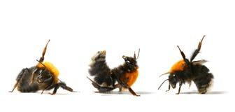 La danza manosea la abeja Fotografía de archivo libre de regalías