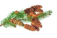 La decoración hermosa de la Navidad de la rama de árbol de abeto con el cono es i Fotografía de archivo libre de regalías