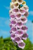 La dedalera florece con cierre para arriba de pétalos púrpuras Fotografía de archivo