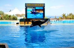 La demostración de las orcas en Loro Parque Imágenes de archivo libres de regalías