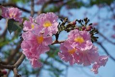 La demostración de Sakura Tailandia en flor antes del verano Imágenes de archivo libres de regalías