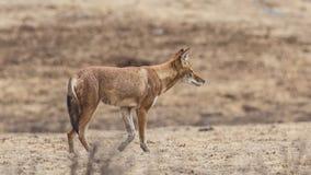 La derecha etíope de Wolf Walking fotos de archivo