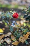 La dernière floraison a monté sur le fond des feuilles tombées de chêne d'automne Concept de nostalgie, humeur Image libre de droits