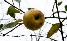 La dernière pomme Image stock
