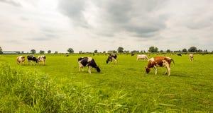 La descripción de negro y del rojo manchó las vacas que pastaban en la aguamiel holandesa Imagen de archivo