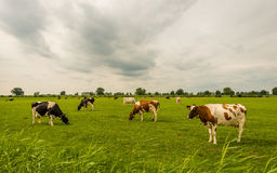 La descripción de negro y del rojo manchó las vacas que pastaban en un prado holandés Imagen de archivo