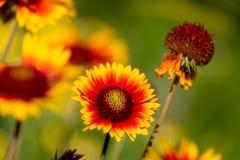 La diagonal de los perennials al aire libre del crecimiento de flor del gaylardiya anaranjados y de los colores amarillos, el fon foto de archivo