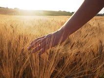 La diapositiva de la mano lanzó el campo de trigo Foto de archivo libre de regalías