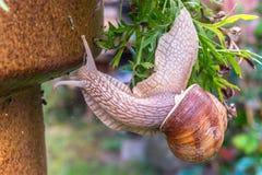 La diapositiva del caracol de jardín en jardín hojea, al revés Imagenes de archivo