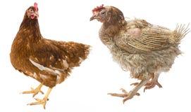 la differenza fra la gallina ruspante e la gallina dall'allevamento intensivo Fotografia Stock