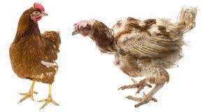 la differenza fra la gallina ruspante e la gallina dall'allevamento intensivo Fotografie Stock
