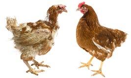 la differenza fra la gallina ruspante e la gallina dall'allevamento intensivo Fotografie Stock Libere da Diritti