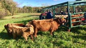 La discesa cerimoniale del bestiame dalla montagna pascola nelle camice sveve Immagine Stock
