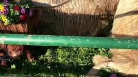 La discesa cerimoniale del bestiame dalla montagna pascola nelle camice sveve video d archivio