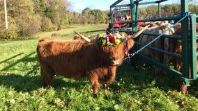 La discesa cerimoniale del bestiame dalla montagna pascola nelle camice sveve Immagini Stock