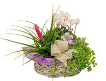 La disposizione floreale con i fiori di ciclamino e la tillandsia Cyanea fioriscono in un canestro della paglia, fondo bianco iso Fotografie Stock Libere da Diritti