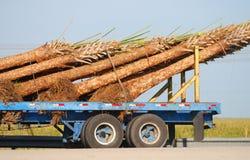 La distribution de palmier Image libre de droits