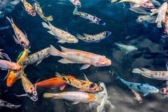 La diversa charca asiática pesca la natación en una charca Fotos de archivo libres de regalías