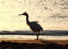 La diversión disheveled el pájaro de la garza Foto de archivo libre de regalías