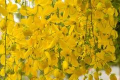La doccia dorata è fiore giallo Fotografia Stock Libera da Diritti