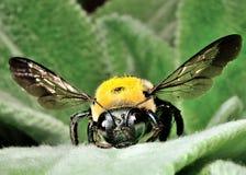 La donadora de polen Imágenes de archivo libres de regalías