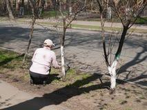 La donna è impegnata nell'imbiancare degli alberi Fotografia Stock Libera da Diritti