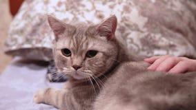 La donna accarezza il suo gatto scozzese che si trova sul letto stock footage