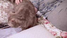 La donna accarezza il suo gatto scozzese che si trova sul letto archivi video