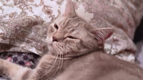 La donna accarezza il suo gatto scozzese che si trova sul letto video d archivio