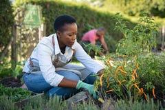 La donna africana coltiva le piante nel giardino fotografia stock
