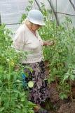 La donna anziana in una serra innaffia Immagini Stock