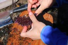 La donna apre tagliando il riccio di mare Fotografie Stock Libere da Diritti