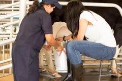 La donna asiatica impara mungere una mucca Fotografia Stock Libera da Diritti