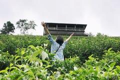 La donna asiatica solleva la sua mano nell'azienda agricola del tè Piantagione di tè il gr fresco Fotografie Stock