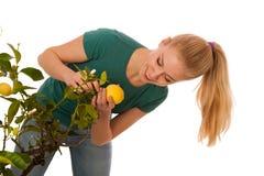 La donna bionda che raccoglie i grandi, limoni gialli da organicamente si sviluppa Immagine Stock Libera da Diritti