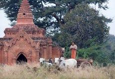 La donna birmana guida sul cablaggio dei progetti nei campi Fotografie Stock