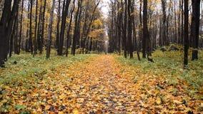 La donna che cammina sul giallo lascia nel parco di autunno archivi video