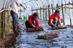 La donna che pianta le plantule nel suolo del giardino, giovani donne sta coltivando le verdure organiche nella toppa di verdure Fotografia Stock Libera da Diritti