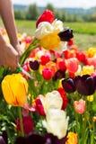 La donna del primo piano passa il taglio del mazzo dei tulipani su un giacimento di fiore Fotografie Stock Libere da Diritti