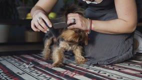 La donna del primo piano pettina l'Yorkshire terrier delle razze del cane ed i peli fuori spazzolati del plaire stock footage