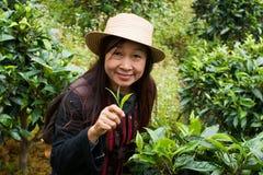 La donna della tribù della collina prende la foglia di tè Fotografia Stock