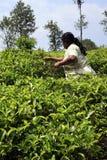 La donna dello Sri Lanka raccoglie le foglie di tè Fotografia Stock Libera da Diritti