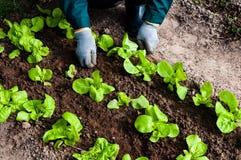 La donna diserba la lattuga nel suo giardino Fotografie Stock Libere da Diritti