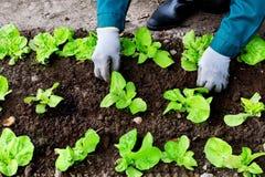 La donna diserba la lattuga nel suo giardino Fotografia Stock Libera da Diritti