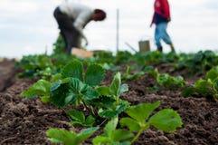 La donna e un ragazzo stanno piantando le piante di fragole Fotografie Stock