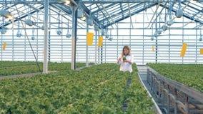 La donna esamina i vasi della lattuga Il lavoratore va fra le file e controlla i vasi delle piante archivi video