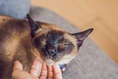 La donna graffia il suo collo del ` s del gatto siamese Passi a colpi il mento di un gatto tailandese fotografia stock