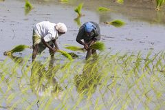 La donna indiana non identificata dell'agricoltore lavora in Tamil Nadu indiano del sud Immagine Stock